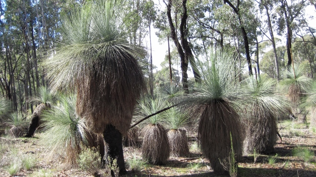 Many Grass Trees will be found on the course
